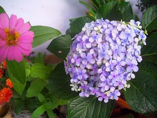 Bunga Desember Kawanimut