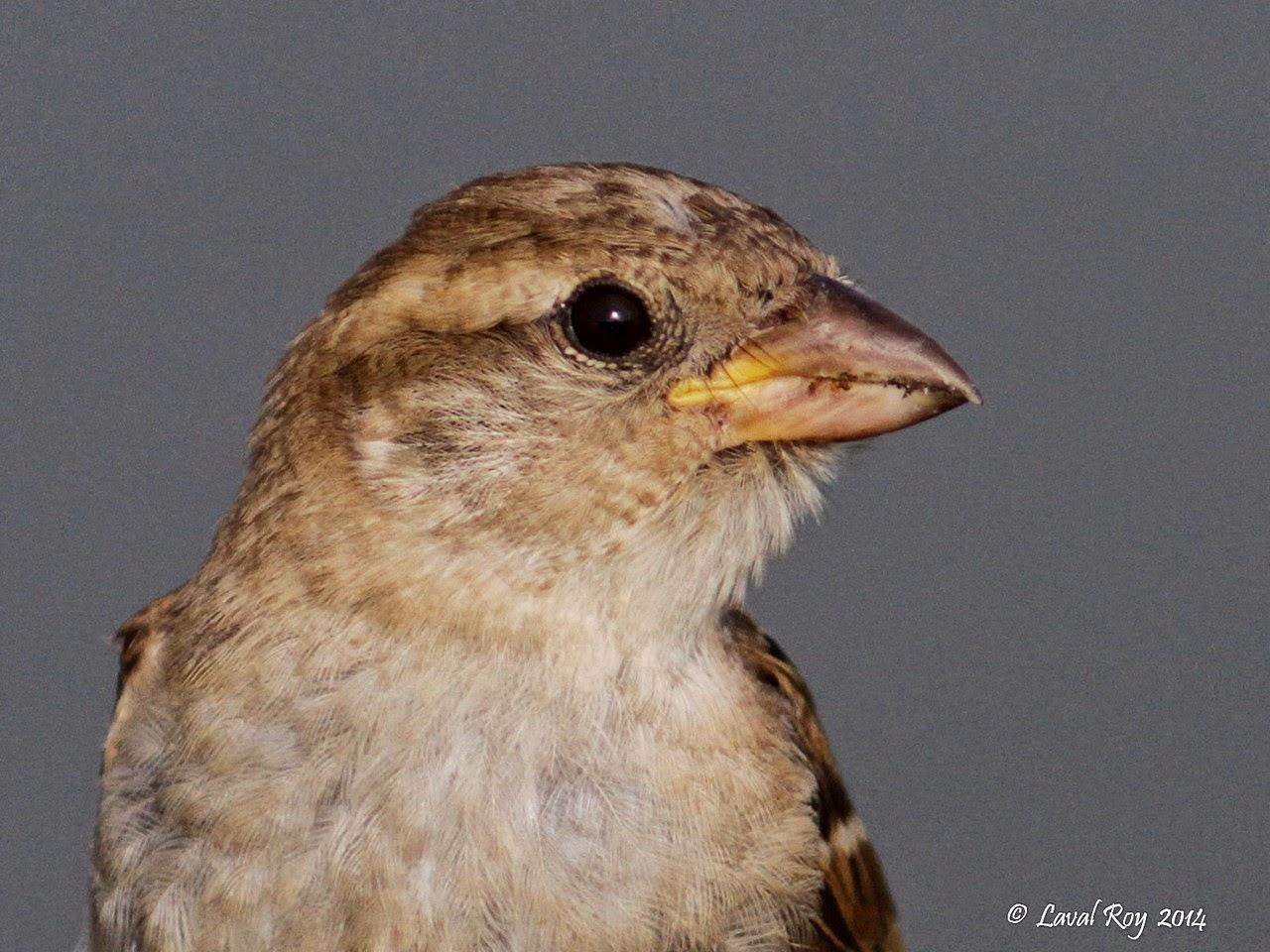 Des oiseaux sur ma route octobre 2014 for Oiseau domestique interieur
