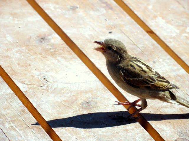 Sparrow in Amousa beach