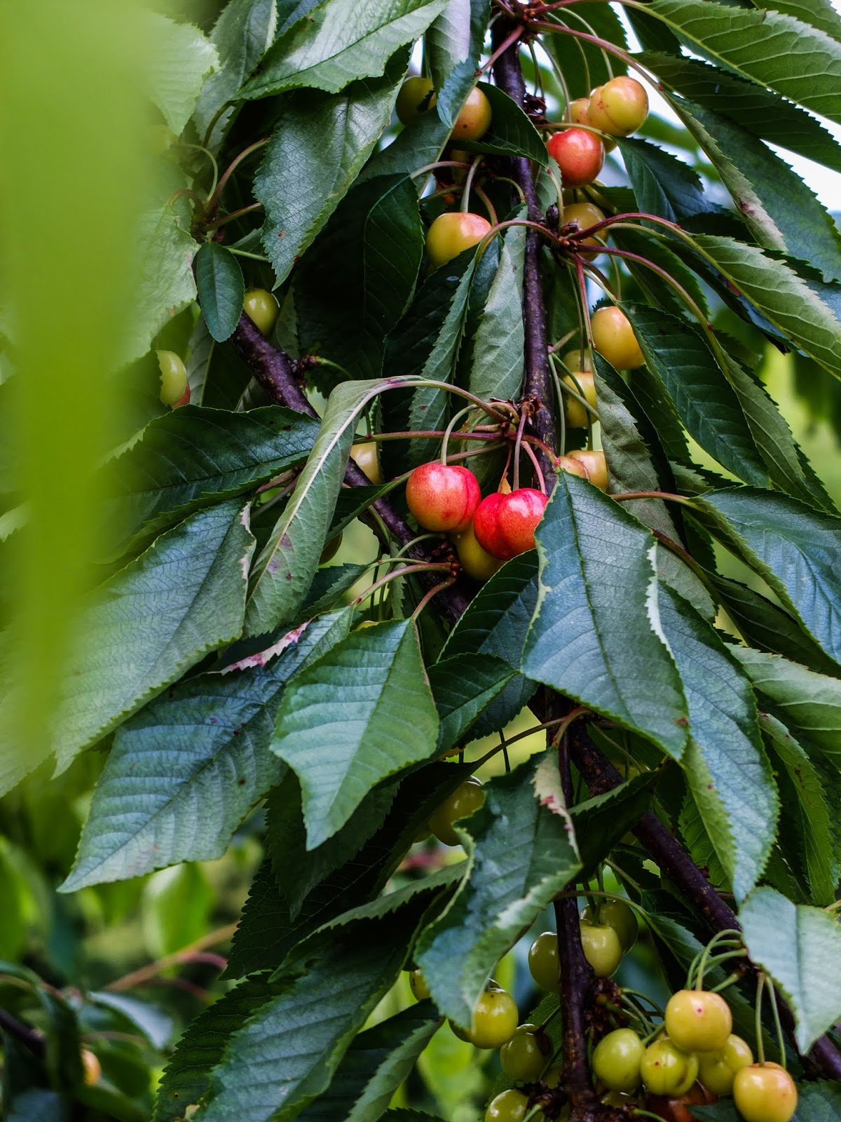 Cherries ripening on a tree branch.