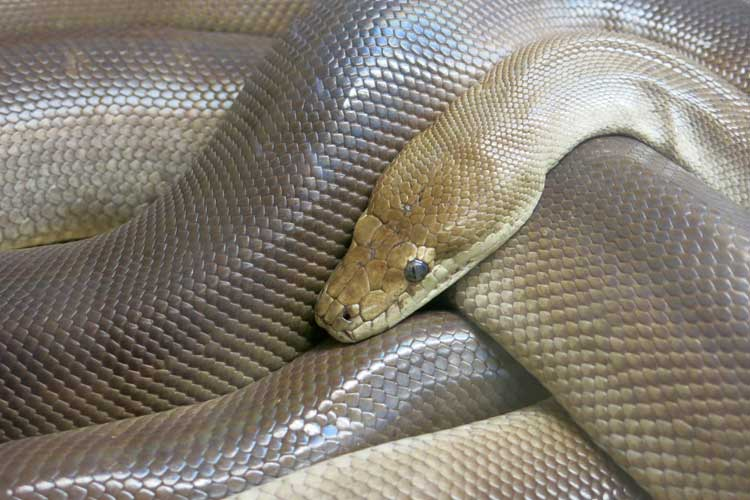 A public domain photo of a python
