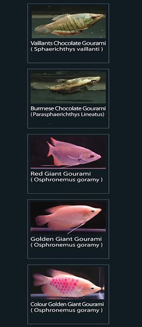 Burmese chocolate gourami (parasphaerichthys lineatus)  32 Red giant gourami (osphronemus goramy)  33 Golden giant gourami (osphronemus goramy)  34 colour golden giant gourami (osphronemus goramy)