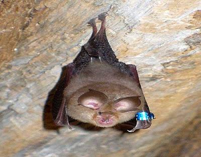 Bat-خفاش-حدوة-الحصان