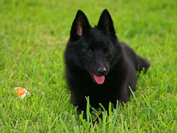 15 Ras Anjing Paling Pintar di Dunia