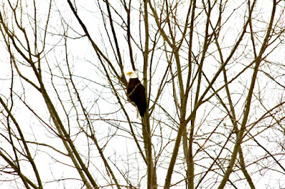 March: bald eagle perched in bare tree