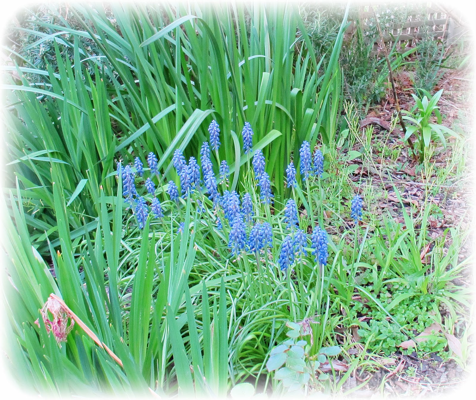 image purple grape hyacinth muscari flower bulb