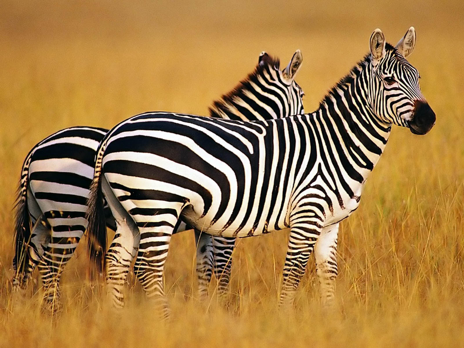 Zebra Wallpapers ~ Desktop Wallpaper