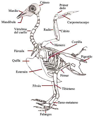 Imagen del esqueleto de un ave con sus partes