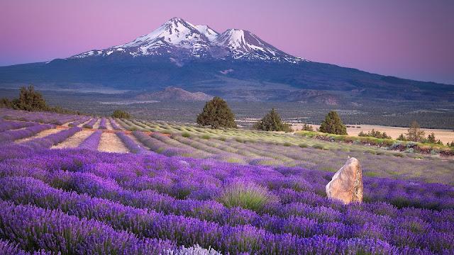 Landschap met paarse bloemen en bergen of vulkaan in de verte