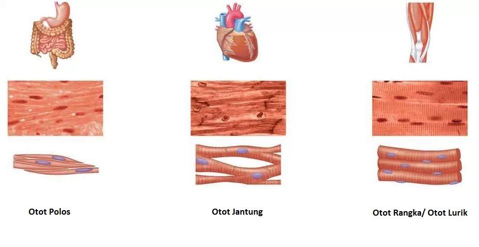 80 Gambar Bentuk Otot Polos Lurik Jantung Paling Bagus