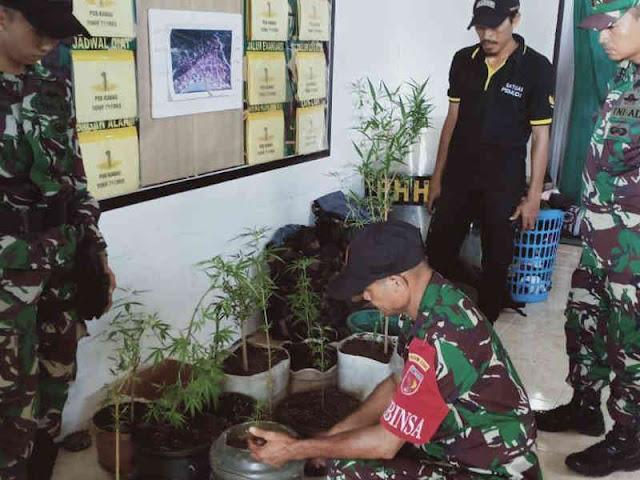 Satgas Yonif 711/Raksatama dan Warga Kabauw Temukan Kebun Ganja di Hutan