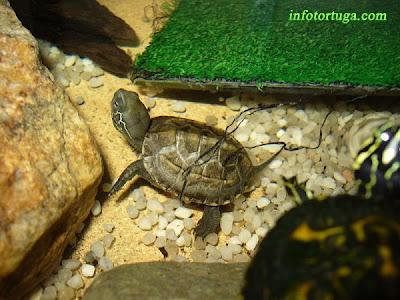 Pequeña cría de Chinemys reevesii en su acuario