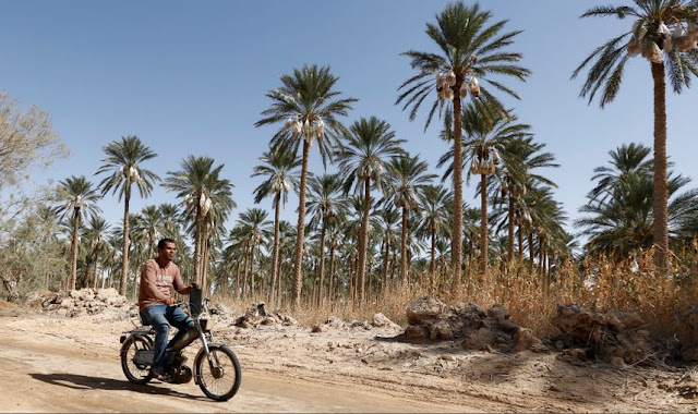 Touhami, a young graduate, arrives on his motorcycle at his job on a dates farm in Jemna, southern Tunisia October 17, 2016. REUTERS/Zoubeir Souissi