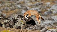ethiopian wolf pictures