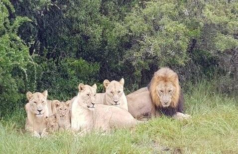 Gjuetari i rinocerontëve vritet nga elefanti dhe hahet nga luanët në Afrikën e Jugut