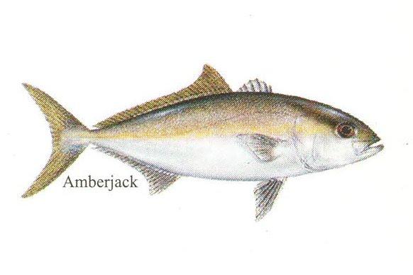Barammundi: Kenali Jenis2 Ikan Air Masin (Part 2)
