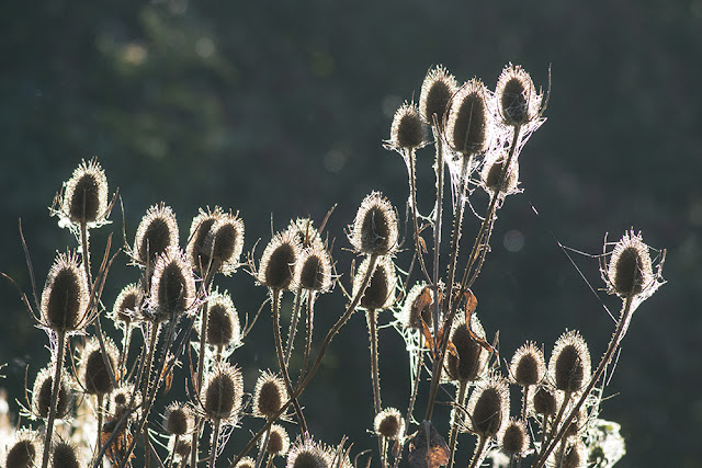 Backlit Teasles