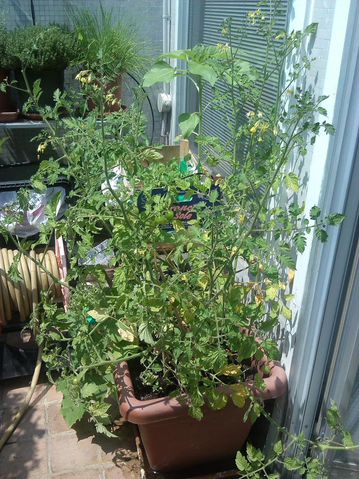 Coltivare pomodori e cetrioli sul balcone i primi for Piante pomodori in vaso