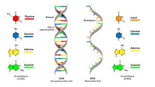 Gambar perbedaan DNA dan RNA