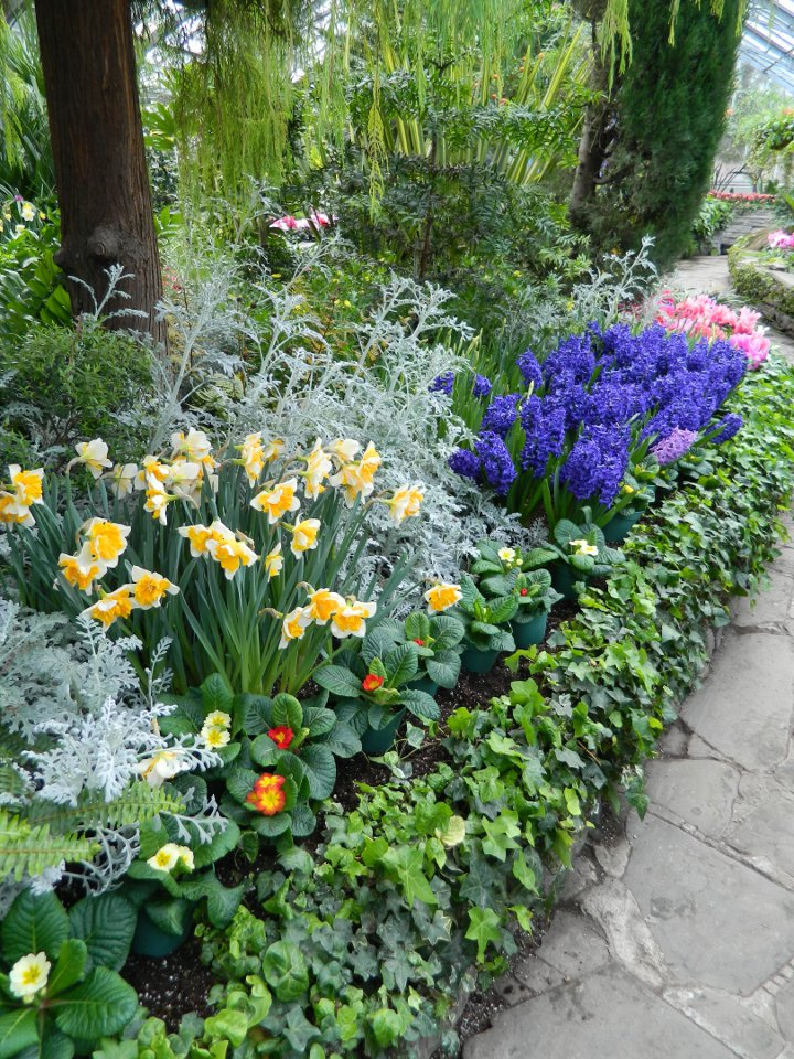 Allan Gardens Conservatory Easter Flower Show 2013 drifts blue hyacinths yellow daffodils dusty miller pink cyclamen by garden muses: Toronto gardening blog
