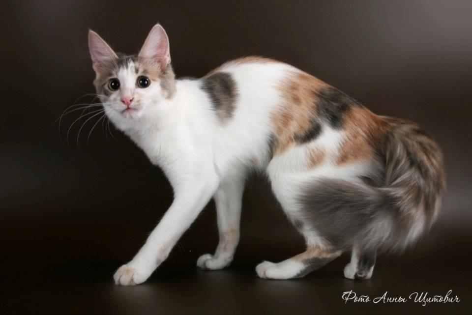 Kawin Silang Kucing Anggora Dan Kucing Kampung Info Terkini