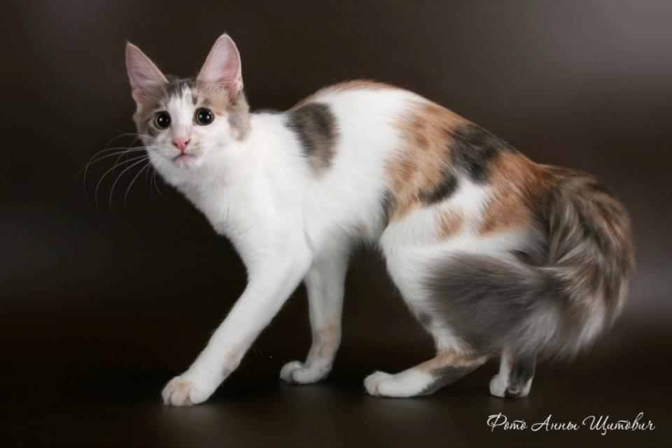 Download 93+  Gambar Kucing Persia Campuran Lokal Lucu Gratis