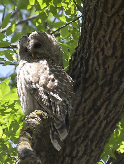 Dan Tallman's Bird Blog: Barred Owl and Bald Eagle