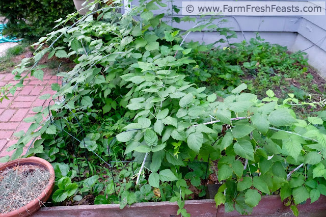 raspberries and strawberry plants in a patch