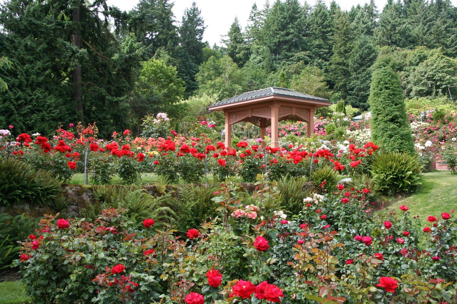 Daffodils Daydreams Garden Visit International Rose Test