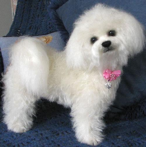 Cute Dogs: Cute Bichon Frise Dog