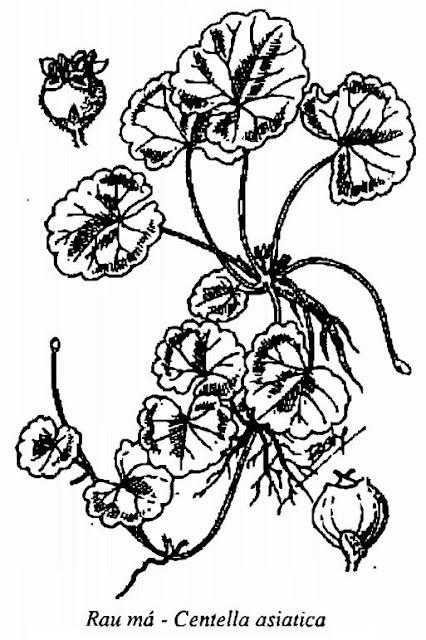 Hình vẽ Rau Má - Centella asiatica - Nguyên liệu làm thuốc Chữa Cảm Sốt