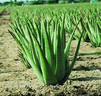 Aloe vera ki Kheti ke liye Jalvayu Or Mitti