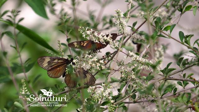 Aloysia gratissima Cedrón del Monte y mariposas Actinote