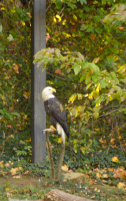 Maymont has a bald eagle.  #RVA