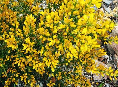 Aliaga (Ulex parviflorus) flor amarilla