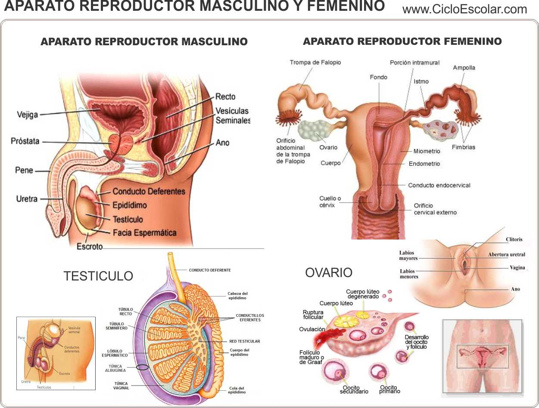 Sexxxo y Salud: Aparato reproductor femenino y masculino