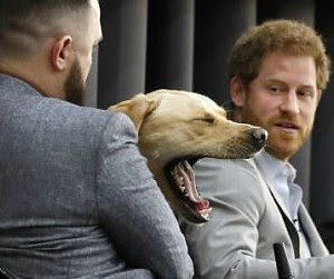 Prince Harry is Upstaged by beautiful blonde lab