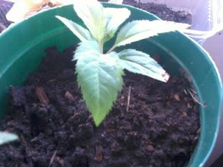 Como germinar sementes de maçã
