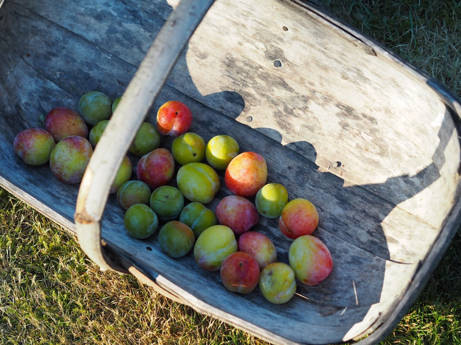 Basket of picked Plums