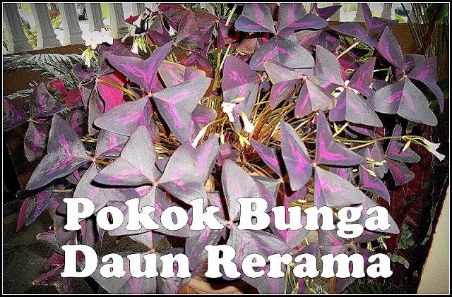 Pokok Bunga Daun Rerama Bernilai Ribuan Ringgit