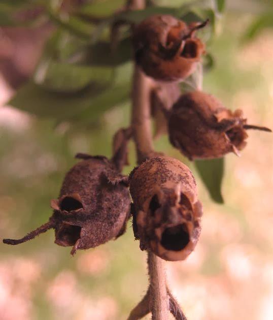 bunga tanaman hias cantik Snapdragon, Bunga Ini Akan Berubah Menyerupai Tengkorak Manusia Saat Layu
