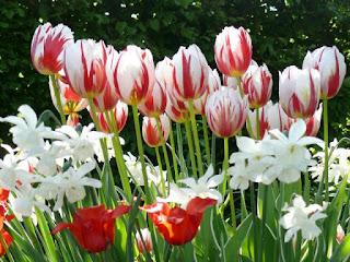 Tulip Narcissus