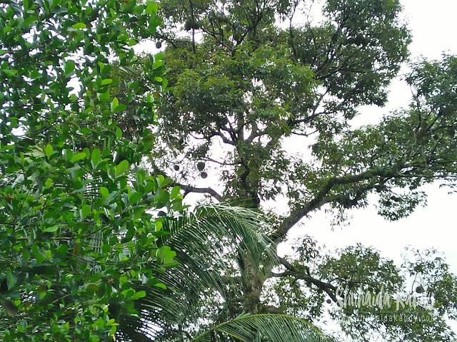 Musim Durian Dah