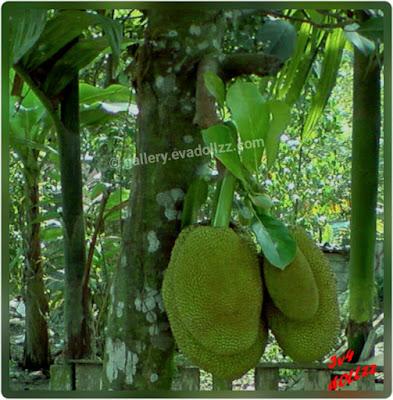 Jackfruit, nangka