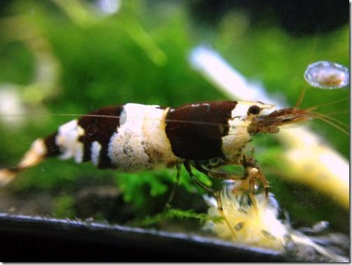 Cách nuôi tép Ong Đen (Black Bee Shrimp)