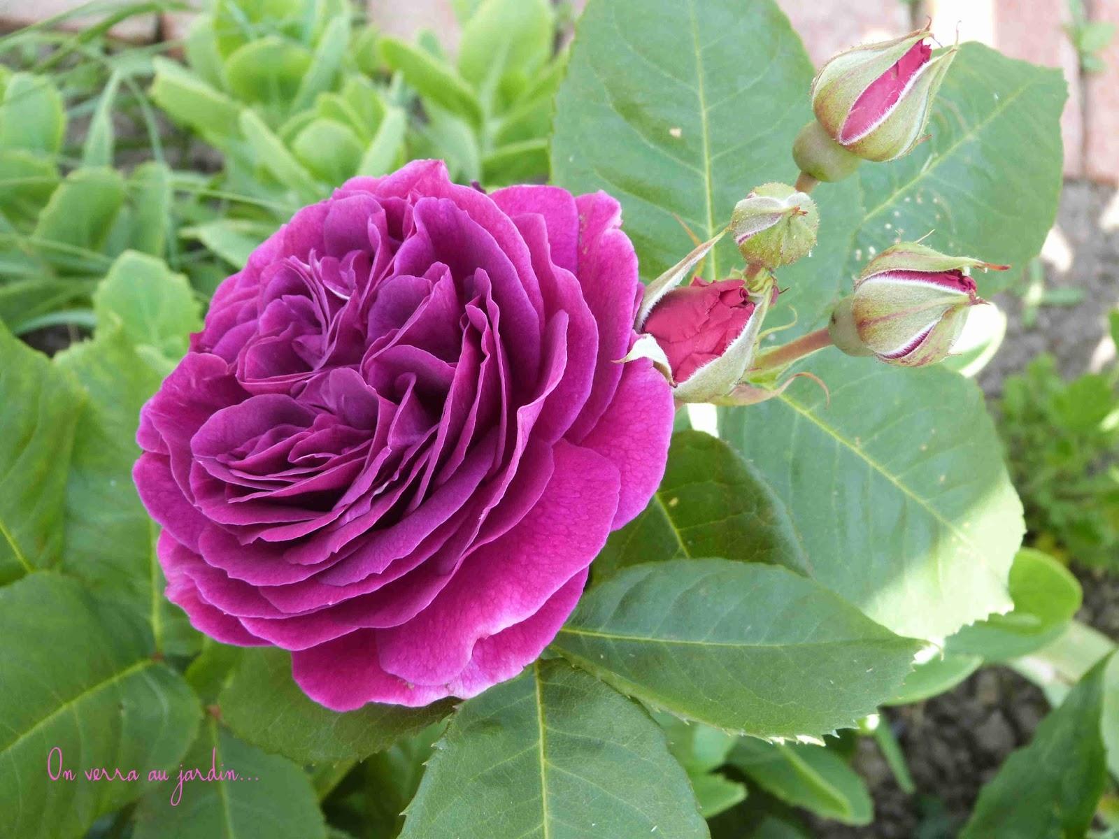On verra au jardin sept rosiers en recherche de paternit - Bouturer un rosier ancien ...