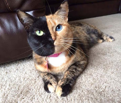 Gambar perbedaan kepribadian kucing anggora dan persia