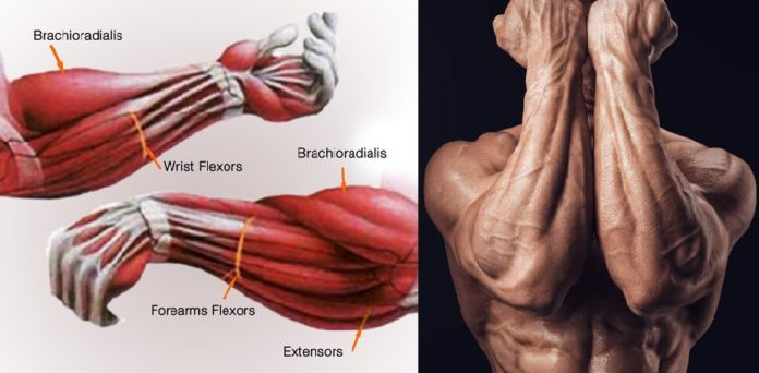 How To Build Forearm Muscle Five Simple Exercises To Train Your