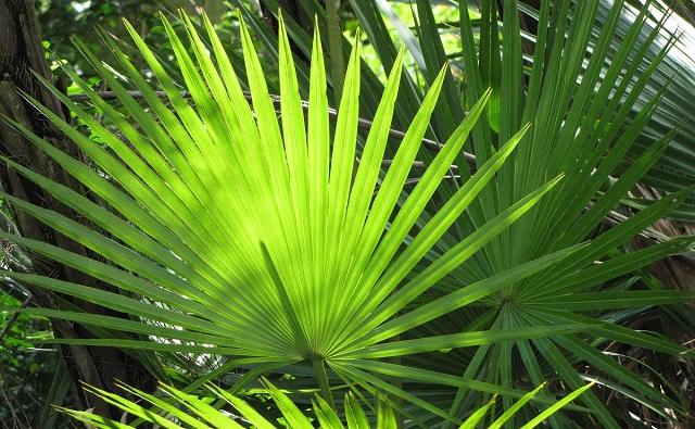 PALMA DE PANTANO: Acoelorrhaphe wrightii