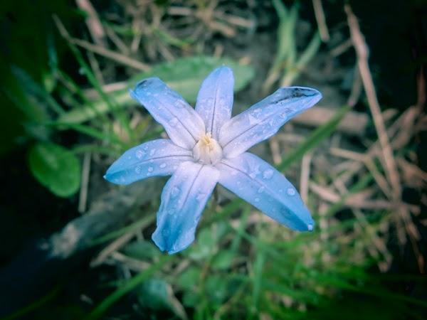 PauMau toukokuu blue flower luonto puutarha
